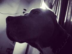 Koyla (Gordita) (Gabriel_Guerrero) Tags: pitbull bluenose perros dogs cdmx blue