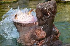 DSC_0115 (Frank Berbers) Tags: pairidaiza 2018 nikond5100 cambroncasteau belgië zoo dierentuin tiergarten jardinzoologique