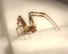 IMG_0088 - unspecified male orbweaver_ (TigerCoin) Tags: spider orbweaver arachnid macro