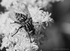 (Joshua Harkness) Tags: macro fly bug wings flower polinator