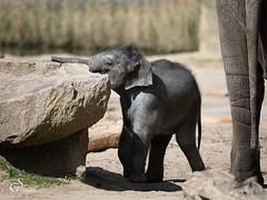 Jungtier im Kölner Zoo (guentersimages) Tags: tier zoo köln jungtier elefantenbaby elefant säugetier