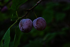 Plums (anderswetterstam) Tags: nature plants seasons tree branch garden delicious freshness fruit purple green summer summertime changes