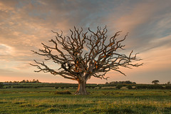 Medusa (Glenn D Reay) Tags: deadtree oak northwales tree field sunset pentaxart pentax k70 sigma1770hsm glennreay