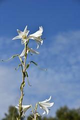 Lilium candidum (esta_ahi) Tags: flor flora flores cultivadas white azucenas lilium candidum liliumcandidum liliaceae caldeunegre torrellesdefoix penedès barcelona spain españa испания