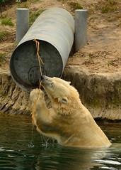 Plays with rope (Romanie de Groot) Tags: nikon d5200 drenthe dierentuin dieren emmen europe europa outdoor outside wildlands ijsberen 24120mm f4