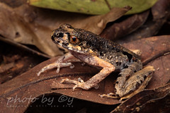 Gracile Litter Frog (Leptolalax gracilis) (peter soltys) Tags: peter soltys adventure macro photography wildlife canon herping borneo indonesia gracile litter frog leptolalax gracilis