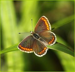 Brown Argus basking II - Nottingham Hill (glostopcat) Tags: brownargusbutterfly butterfly insect invertebrate macro glos nottinghamhilllongwoodcommon summer august