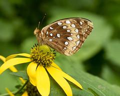 great spangled fritillary (crgillette77) Tags: pennsylvania wyomingcounty butterfly greatspangledfritillary speyeriacybele