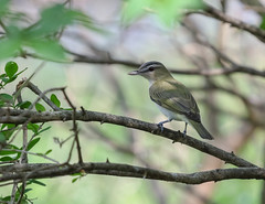 May 29, 2016 red-eyed vireo, Rondeau Provincial Park. (ricmcarthur) Tags: redeyed vireo morpeth ontario canada ca vireoolivaceus ricmcarthur rickmcarthur rondeauric