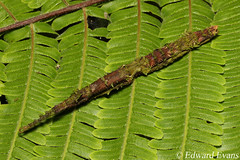 Not a stick - cryptic stick insect (Phasmatodea) (edward.evans) Tags: stick insect stickinsect phasmid phasmatodea crypsis cryptic camouflage moss lichen guayacánrainforestreserve guayacan crarc siquirres costarica rainforest wildlife nature centralamerica latinamerica costaricanamphibianresearchcenter