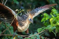 Hoatzin (Opisthocomus hoazin) (Sergey Pisarevskiy) Tags: hoatzin opisthocomushoazin bolivia southamerica birds birdwatching wildnature wildlife