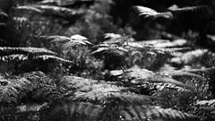 Black Woods of Rannoch 5 (ShinyPhotoScotland) Tags: ferns light backlight shimmer glisten shiny bokeh blur perthshire scotland landscape blackandwhite rannoch highlands nature trees birch pine fujixt20 hdr dark contrast relax flora intimatelandscape caledonianforestremnant blackwoodsofrannoch ranncoh rawtherapee helios58mm lens