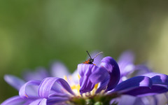 Marching over the purple hill! (susie2778) Tags: olympus omdem1mkii olympusm60mmf28macro boredhillgarden purple flower aster beetle