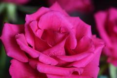 DSC_0689 (PeaTJay) Tags: nikond750 sigma reading lowerearley berkshire macro micro closeups gardens indoors nature flora fauna plants flowers rose roses rosebuds