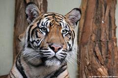 Sumatran Tiger - Zoo Jihlava (Mandenno photography) Tags: animal animals tiger tijger tigers tijgers zoo zoojihlava jihlava czech republic ngc nature big bigcat cat