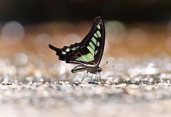 Graphium cloanthus (Cramer, 1775)  寬帶青鳳蝶 (kinhung cheung) Tags: hongkong sigma50500 nikond500 butterfly insect