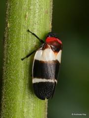 Froghopper, Cercopidae (Ecuador Megadiverso) Tags: andreaskay cercopidae cercopoidea ecuador froghopper hemiptera spittlebug truebug