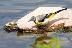 IMG_7802.jpg (TonyJ 3006) Tags: birds greywagtail places slimbridge