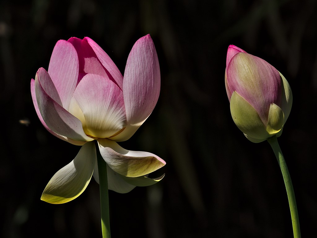 The Worlds Best Photos Of Blume And Lotus Flickr Hive Mind