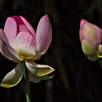 Erwachender Lotus thumbnail
