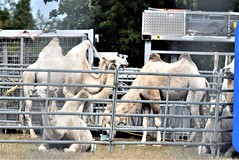 Camels Circus Knie 06.08 (1) (tabbynera) Tags: camels