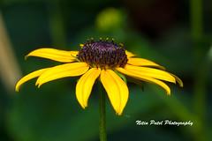 IMG_6309 (nitinpatel2) Tags: flower nature nitinpatel