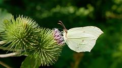 Zitronenfalter (Gonepteryx rhamni) (Carsten Weigel) Tags: suche search look food nahrung summ er sommer sonne sun schmetterling insekt butterfly insect carstenweigel panasonicgx8 leicasummilux12mmf14 makro zitronenfalter gonepteryxrhamni