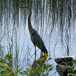 Great Blue Heron - Grand Héron thumbnail
