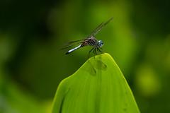 Dragonfly (gdajewski) Tags: d750 longwoodgardens nikond750 flash speedlight sb900 nikkor200500nnf56 gdajewski dajewski tripod closeup fx fullframe