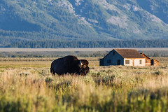 (JuanCarViLo) Tags: grand teton national park wyoming mountain range outdoors wildlife hike hiking nature bison sunrise