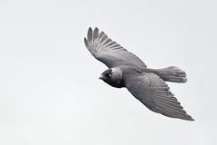 Jackdaw in flight (adbecks) Tags: d500 300 pf vr f4 bempton cliffs nikon wildlife uk england fight bif