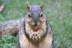 Squirrels in Ann Arbor at the University of Michigan (August 10th, 2018) (cseeman) Tags: gobluesquirrels squirrels annarbor michigan animal campus universityofmichigan umsquirrels08102018 summer eating peanut augustumsquirrel foxsquirrels easternfoxsquirrels michiganfoxsquirrels universityofmichiganfoxsquirrels