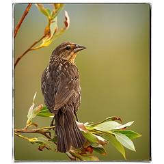 Female Redwinged Blackbird. #photography #photooftheday #photoadaychallenge #canon7d #sigma150600 #bird #redwingedblackbird #opcmag #project365 #yyc #calgary