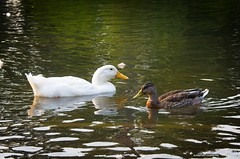 Passing (JSB PHOTOGRAPHS) Tags: dsc7337 copy altonbakerpark ducks eugeneoregon nikon d7000