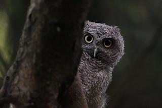 Eastern Screech Owlet 3