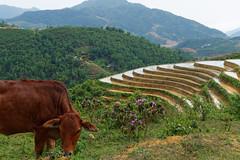 Eating green grass (jvasseur.ucp) Tags: cow animal nature flowers sky mountain green vietnam paddyfields travel landscape