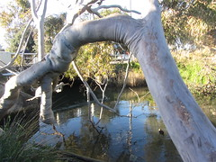 Kananook Creek, Seaford, Victoria, Australia (d.kevan) Tags: seaford victoria melbourne streams creeks trees plants ducks animals birds aquaticplants bridges treetrunks branches reflections