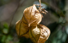 Seed Pods (Merrillie) Tags: capsule trees natural macro pod pods botanical outdoors closeup plants botany seeds nature