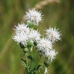 Creeping Thistle / Cirsium arvense, pure white, noxious weed (annkelliott) Tags: alberta canada eofbottrel lisaharbinsonsproperty bioblitz nature flora plant flower wildflower weed noxious creepingthistle formerlycanadathistle cirsiumarvense white field grass bokeh outdoor summer 7august2018 canon sx60 canonsx60 coolpix annkelliott anneelliott ©anneelliott2018 ©allrightsreserved