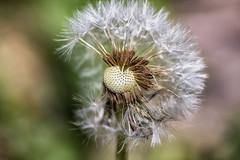 Aspirations (Vanessa wuz Here) Tags: 7dwf 90mm macro dandelion seeds summer vanessasbackyard ittybitty