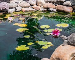 RPC_2806 (rp culver_photography) Tags: purple pond lilli water fish rocks red yellow pink
