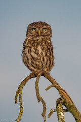 Little Owl (eric-d at gmx.net) Tags: eric littleowl athenenoctua steinkauz owl eule ngc wildlife
