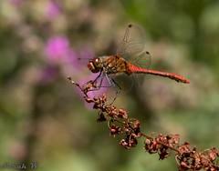 Ruddy Darter Dragonfly (SarahW66) Tags: dragonflies dragonfly ruddydarter insectphotography insects insect canon80d sigmamacro sigma105mm sigmanature natural naturalbokeh naturephotography britishnature