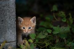 猫 (fumi*23) Tags: ilce7rm3 sony 85mm fe85mmf18 sel85f18 katze gato kitten cat chat animal neko bokeh ねこ 猫 ソニー 仔猫 a7r3 emount