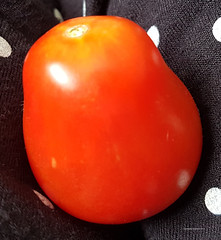 My first plum tomato (Vee living life to the full) Tags: food drink tomatoes tomato plum red rip picked garden growing gardening cultivation 2018 august