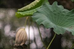 _DSC9608 (kymarto) Tags: bokeh bokehlicious bokehphotography dof depthoffield nature naturephotography beauty beautiful sony sonyphotography sonya7r2 oldlens vintagelens dallmeyersupersixanastigmat china lotus summerpalace