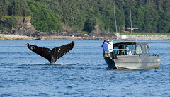 Whale of a Tail! (Anthony Mark Images) Tags: water ocean trees shoreline inlet whale humbackwhale tail whaletail boat photographers forest juneau alaska usa 49thstate mammals nikon d850 barnacles whalewatching yextalaska
