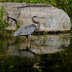 The Hunter (joanneclifford) Tags: great blue heron andrewhaydonpark ottawa pond greatblueheron reflection