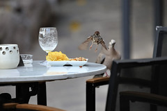got another date see you soon (Paul Wrights Reserved) Tags: sparrow dove flight flying bird birds birdphotography birdwatching birdinflight dinner lunch date couple