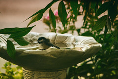 Pool Party (flashfix) Tags: august222018 2018inphotos ottawa ontario canada nikond7100 55m300mm nikon flashfix flashfixphotography birdphotography chickadee blackcappedchickadee birdbath leaves tree
